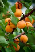 L'abricot (suivi de recettes)