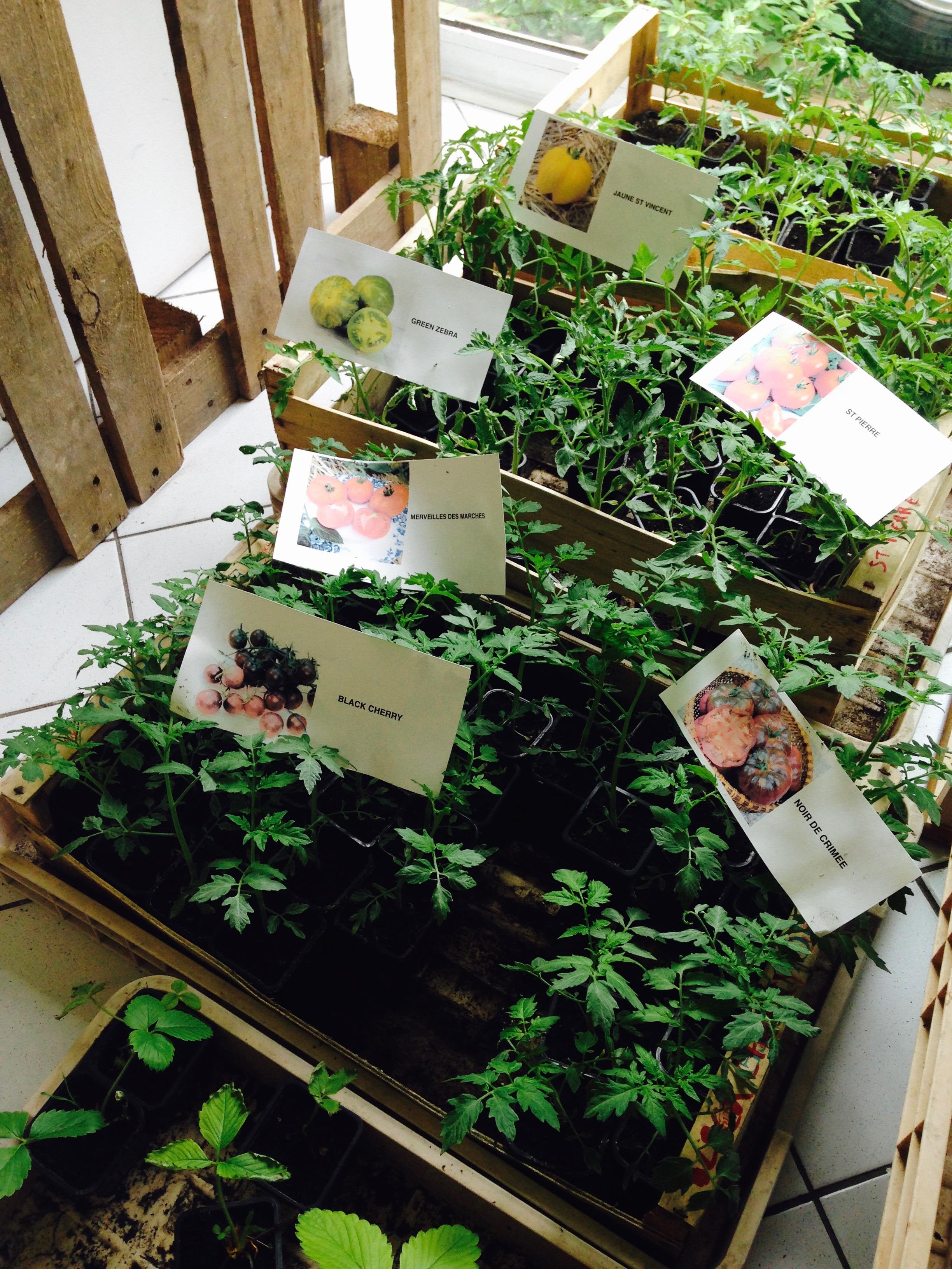 Plants de tomates de La Poule Verte